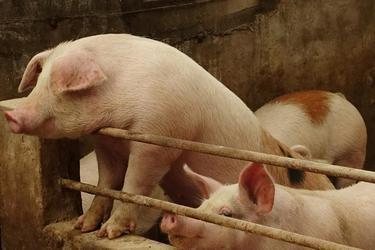 U.S., Canada, Mexico work to prevent swine fever reaching region